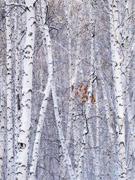 朴树歌里忧伤的白桦林